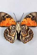 Hybrid - Prepona dexamenes dexamenes x Prepona claudina lugens #16