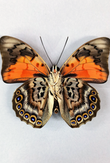 Hybrid - Prepona dexamenes dexamenes x Prepona claudina lugens #17