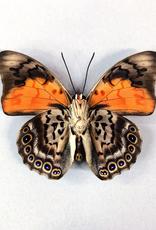 Hybrid - Prepona dexamenes dexamenes x Prepona claudina lugens #20
