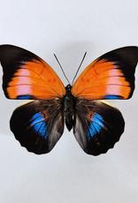 Hybrid - Prepona dexamenes dexamenes x Prepona claudina lugens #07 FEMALE