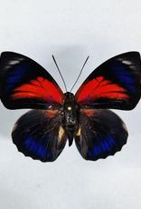 Hybrid - Prepona claudina lugens x Prepona beatifica beata #17