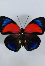 Hybrid - Prepona claudina lugens x Prepona beatifica beata #19