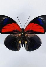 Hybrid - Prepona claudina lugens x Prepona beatifica beata #25