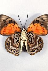 Hybrid - Prepona dexamenes dexamenes x Prepona claudina lugens #22