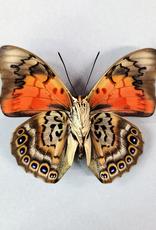 Hybrid - Prepona dexamenes dexamenes x Prepona claudina lugens #27