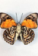 Hybrid - Prepona dexamenes dexamenes x Prepona claudina lugens #32