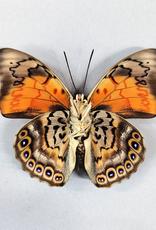 Hybrid - Prepona dexamenes dexamenes x Prepona claudina lugens #33