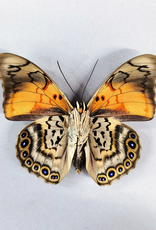 Hybrid - Prepona dexamenes dexamenes x Prepona claudina lugens #34