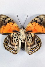 Hybrid - Prepona dexamenes dexamenes x Prepona claudina lugens #41