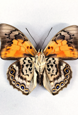 Hybrid - Prepona dexamenes dexamenes x Prepona claudina lugens #43