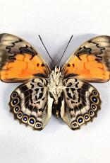 Hybrid - Prepona dexamenes dexamenes x Prepona claudina lugens #44
