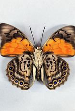 Hybrid - Prepona dexamenes dexamenes x Prepona claudina lugens #47