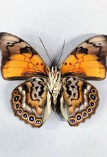 Hybrid - Prepona dexamenes dexamenes x Prepona claudina lugens #48
