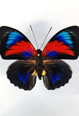 Hybrid - Prepona claudina lugens x Prepona beatifica beata #36