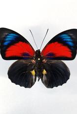 Hybrid - Prepona claudina lugens x Prepona beatifica beata #38