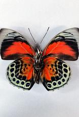 Hybrid - Prepona claudina lugens x Prepona beatifica beata #39