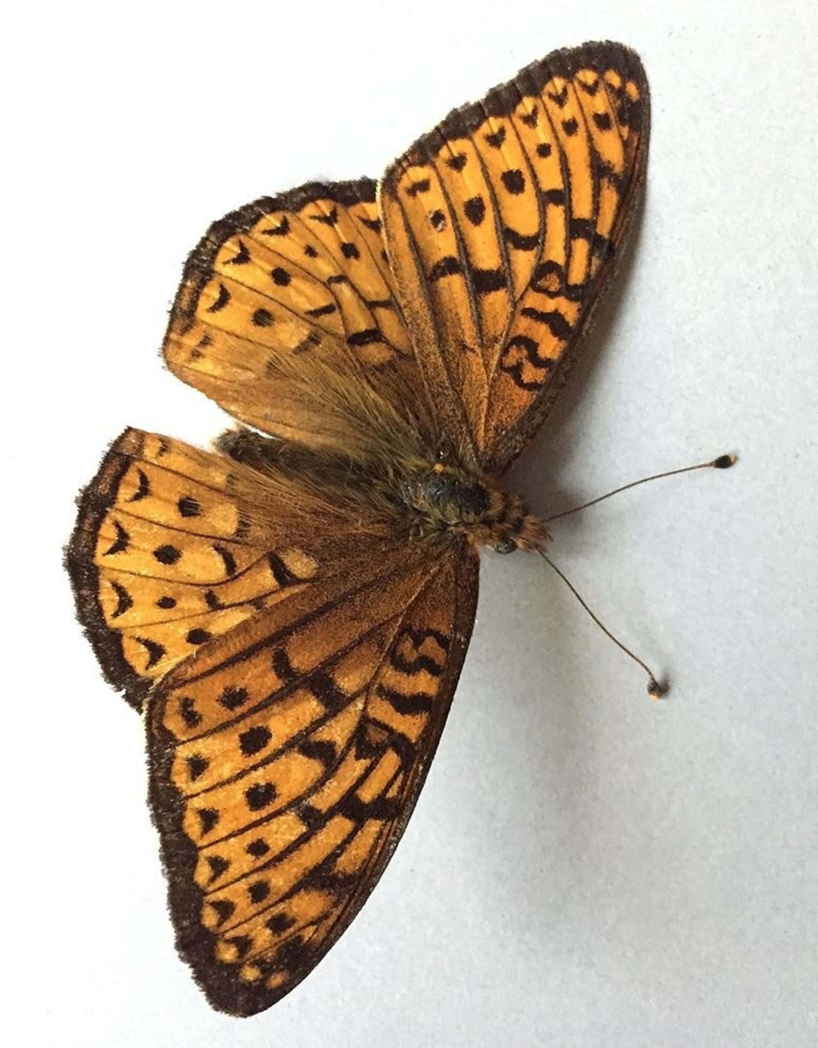 Speyeria hesperis beani M A1- Alberta, Canada