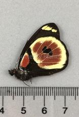 Delias castaneus castaneus M A1/A1- Arfak, Indonesia