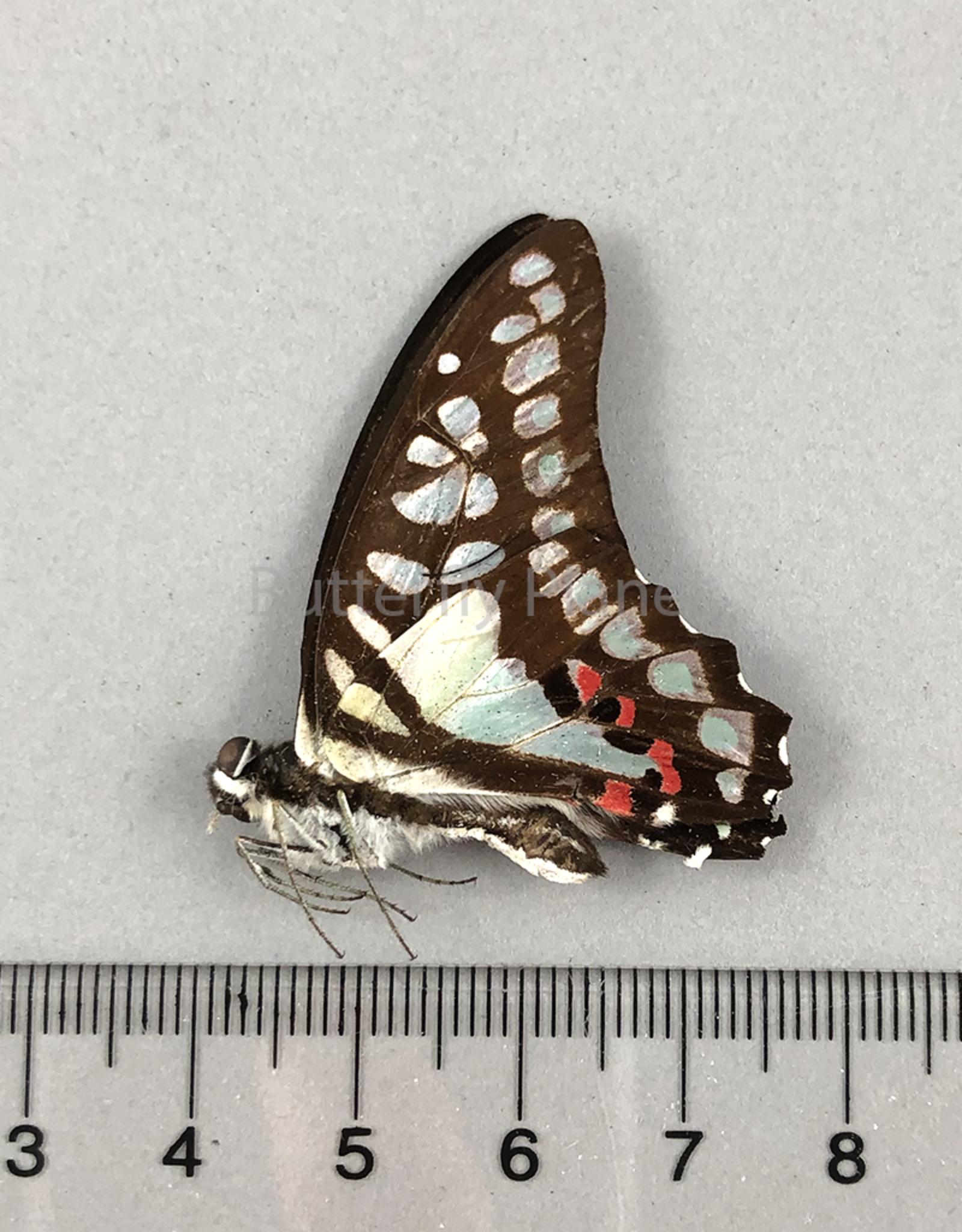 Graphium eurypylus M A1 West Java, Indonesia