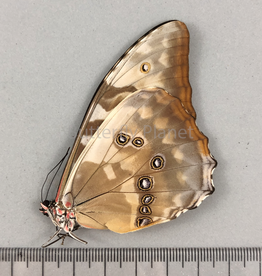 Morpho cypris cypris F A1 Colombia
