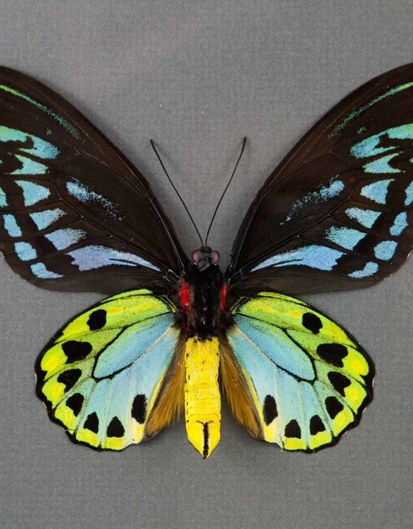 Ornithoptera priamus urvillianus f. flavomaculata M A1- Indonesia