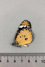 Danaus chrysippus M A1- Sri Lanka