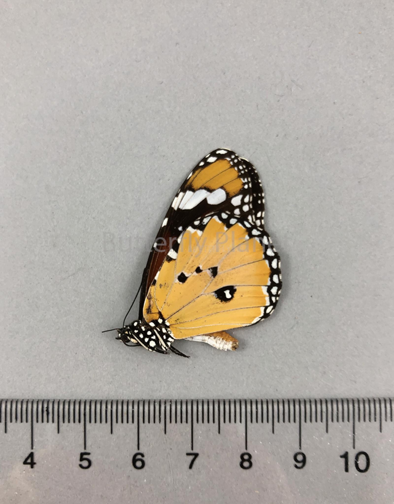 Danaus chrysippus M A1/A1- Sri Lanka