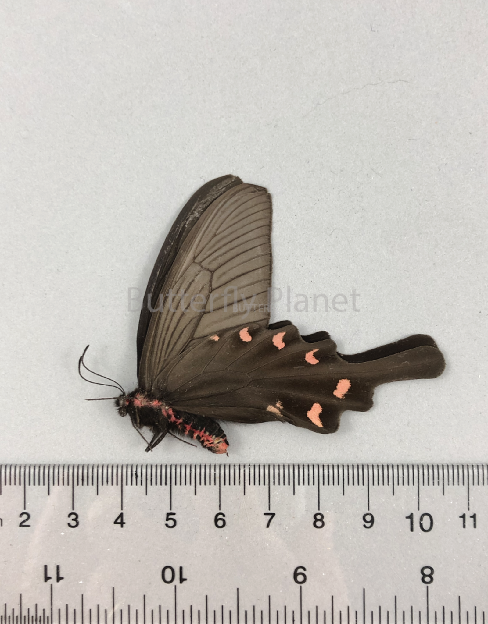 Byasa alcinous ssp? M A1 Ningxia, China