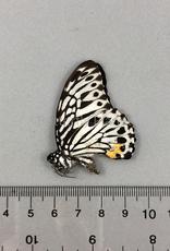 Graphium (Paranticopsis) delessertii ssp? M A1 Binduyan, Philippines