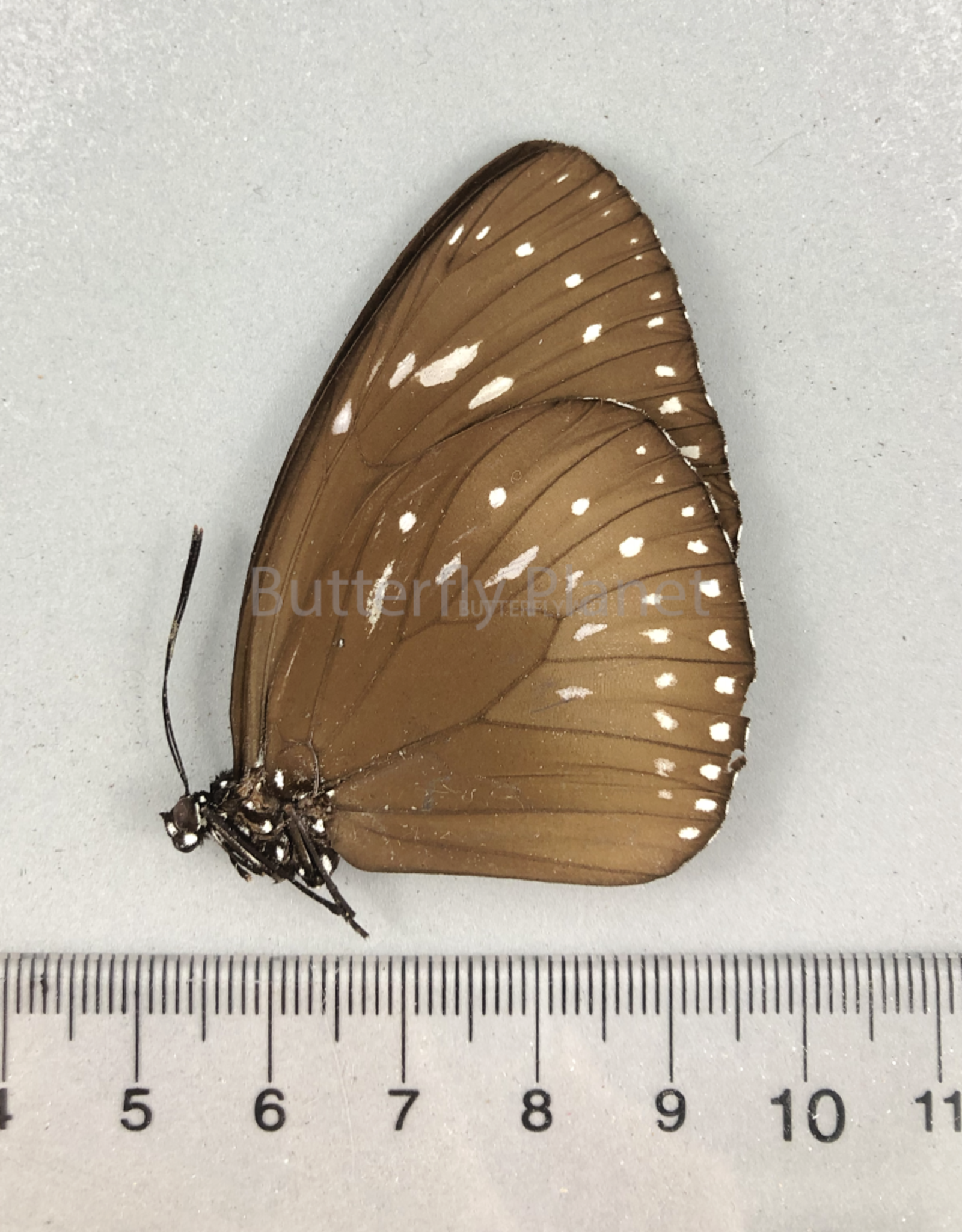 Euploea MIX M A1- PNG