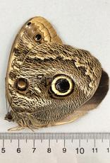 Caligo brasiliensis (oedipus) F A1 Otauche, Columbia