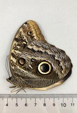 Caligo brasiliensis (oedipus) M A1 Otauche, Columbia