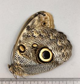 Caligo illioneus F A1 Otanche, Columbia