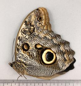 Caligo illioneus M A1 Otanche, Columbia