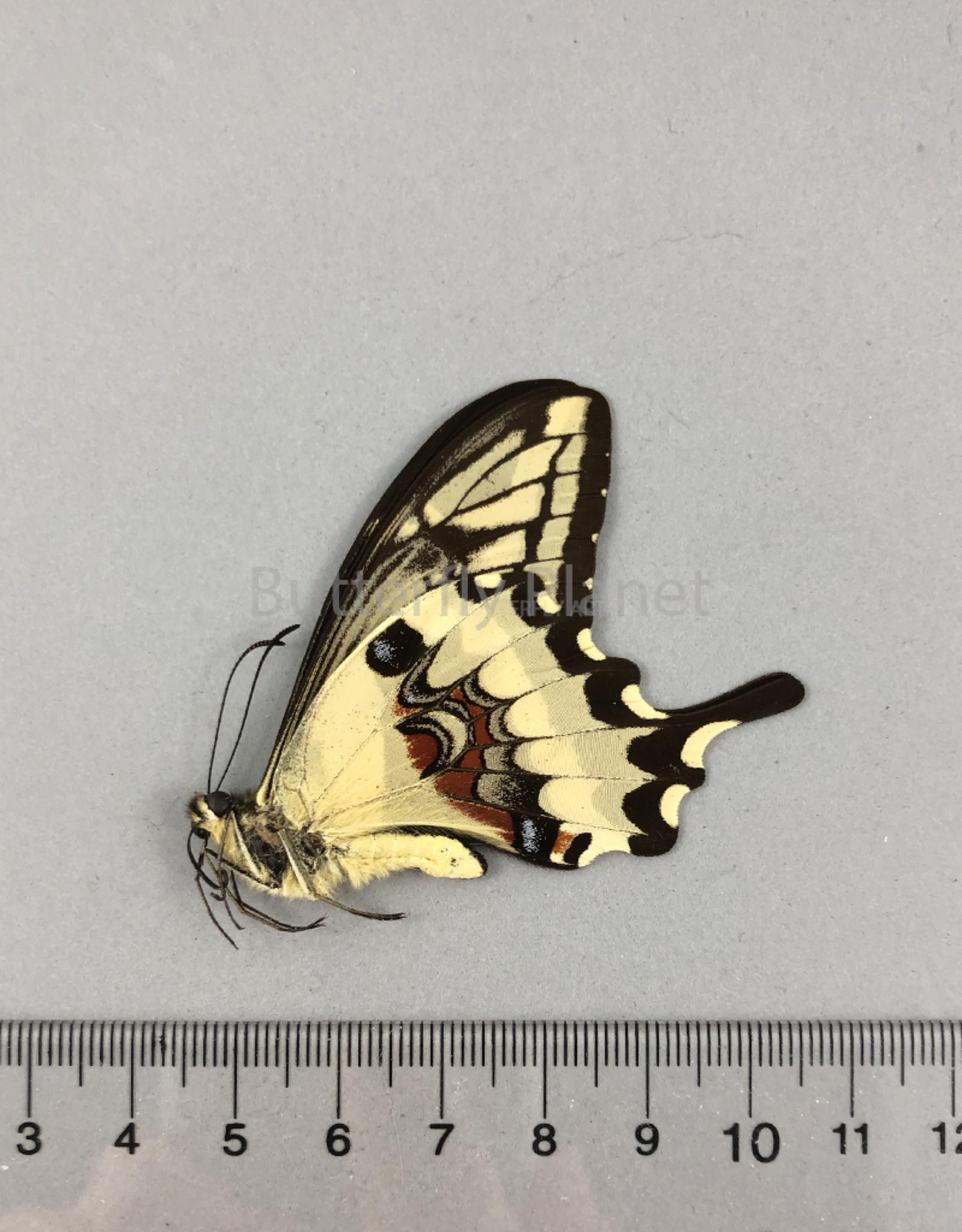 Papilio (Heraclides) paeon escomeli (perugrino) M A1 UHV, Peru