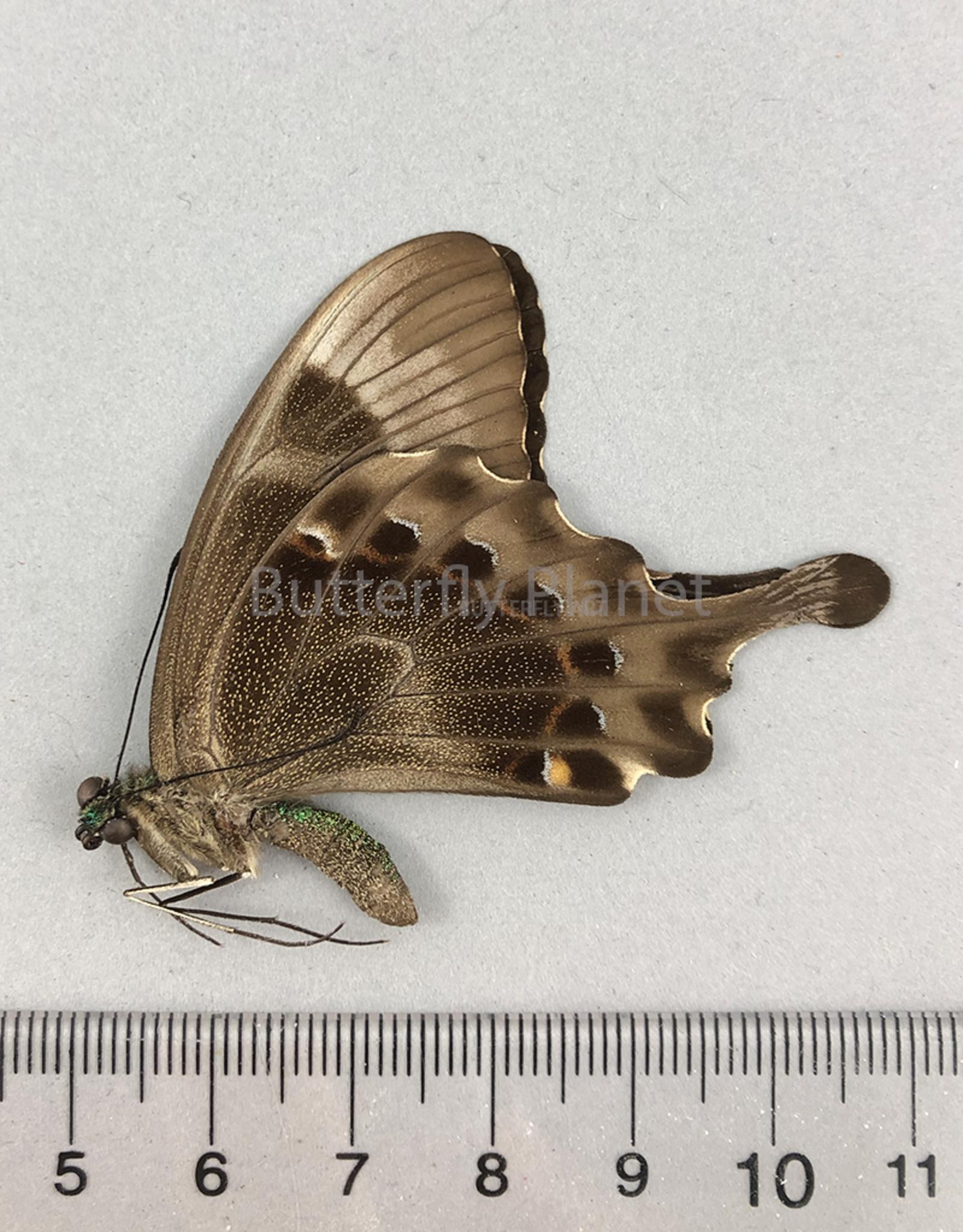 Graphium rhesus rhesulus M A1- Sulawesi, Indonesia