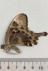 Graphium rhesus rhesulus M A2 Sulawesi, Indonesia