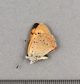 Lycaena helloides F A1 Canada