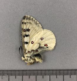 Parnassius smintheus smintheus M A1- Alberta, Canada