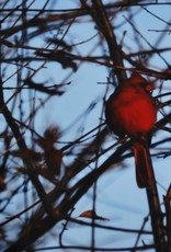 "Daria Percy Matted ""Cardinal"" 5x7 photograph by Daria Percy"