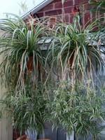 """AIRPLANE PLANT 10"""" HANGING BASKET HB"""