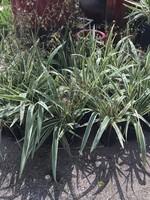DIANELLA, WHITE VAR. (Flax Lily) 1G