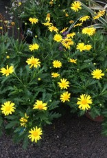 EURYOPS SUNSHINE YELLOW 2G