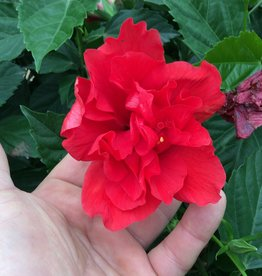 HIBISCUS, TROPICAL, Dbl. RED 3G