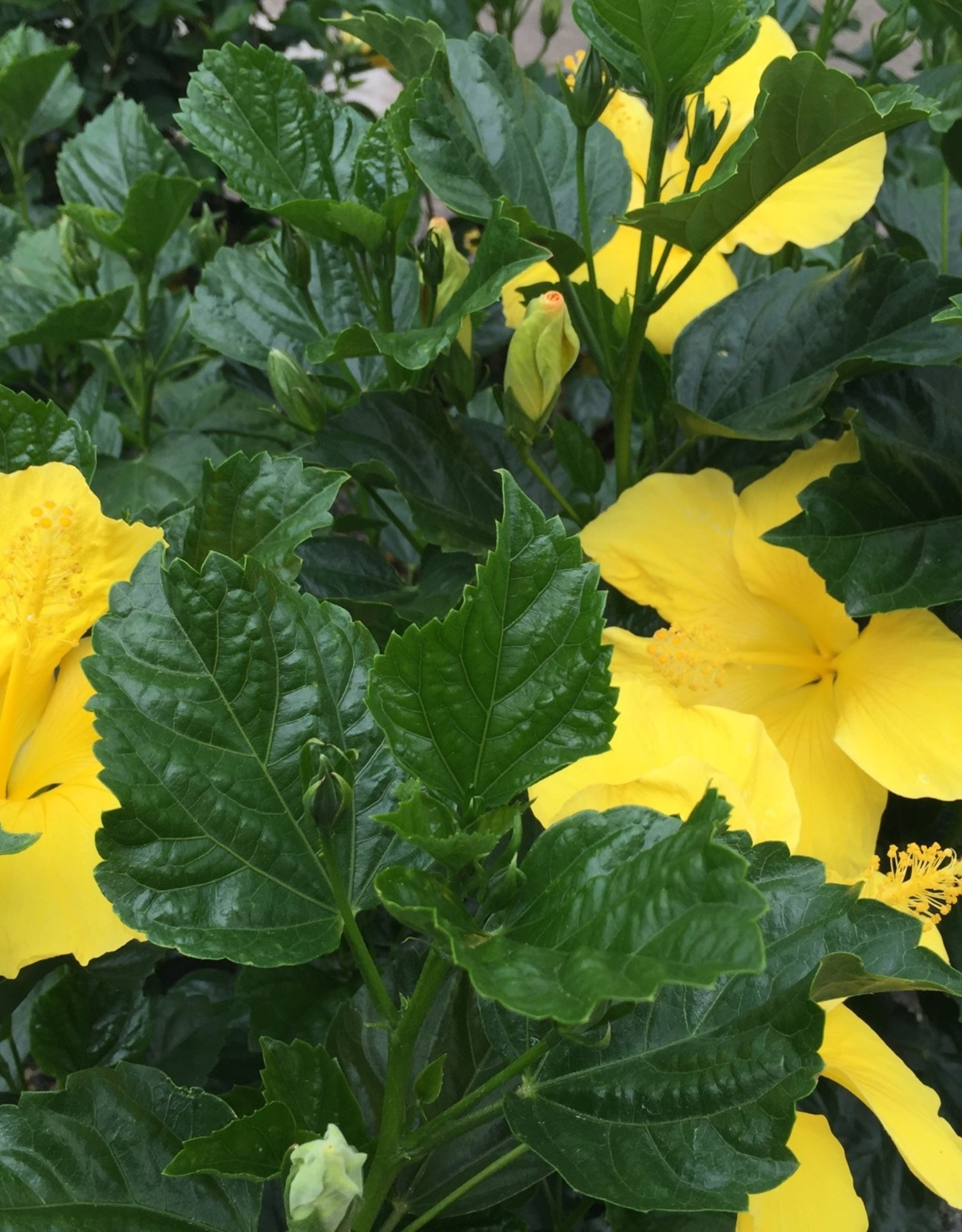 HIBISCUS, TROPICAL, FT MYERS YELLOW 3G