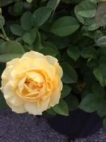 ROSE, 'JULIA CHILD' (yellow) 3G