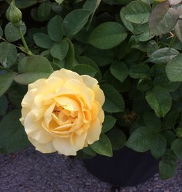 ROSE, 'JULIA CHILD' (yellow) 3G