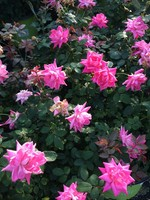 ROSE, 'KNOCK OUT' DOUBLE PINK 3G