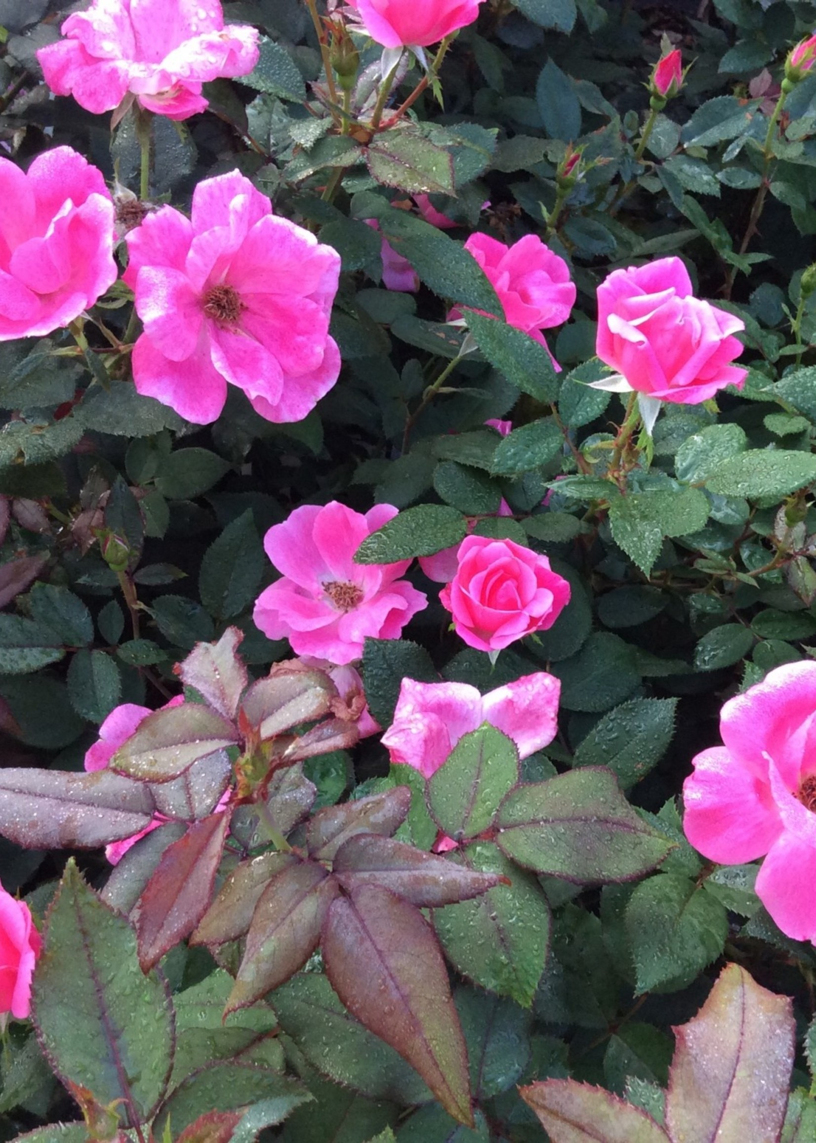 ROSE, 'KNOCK OUT' PINK 3G