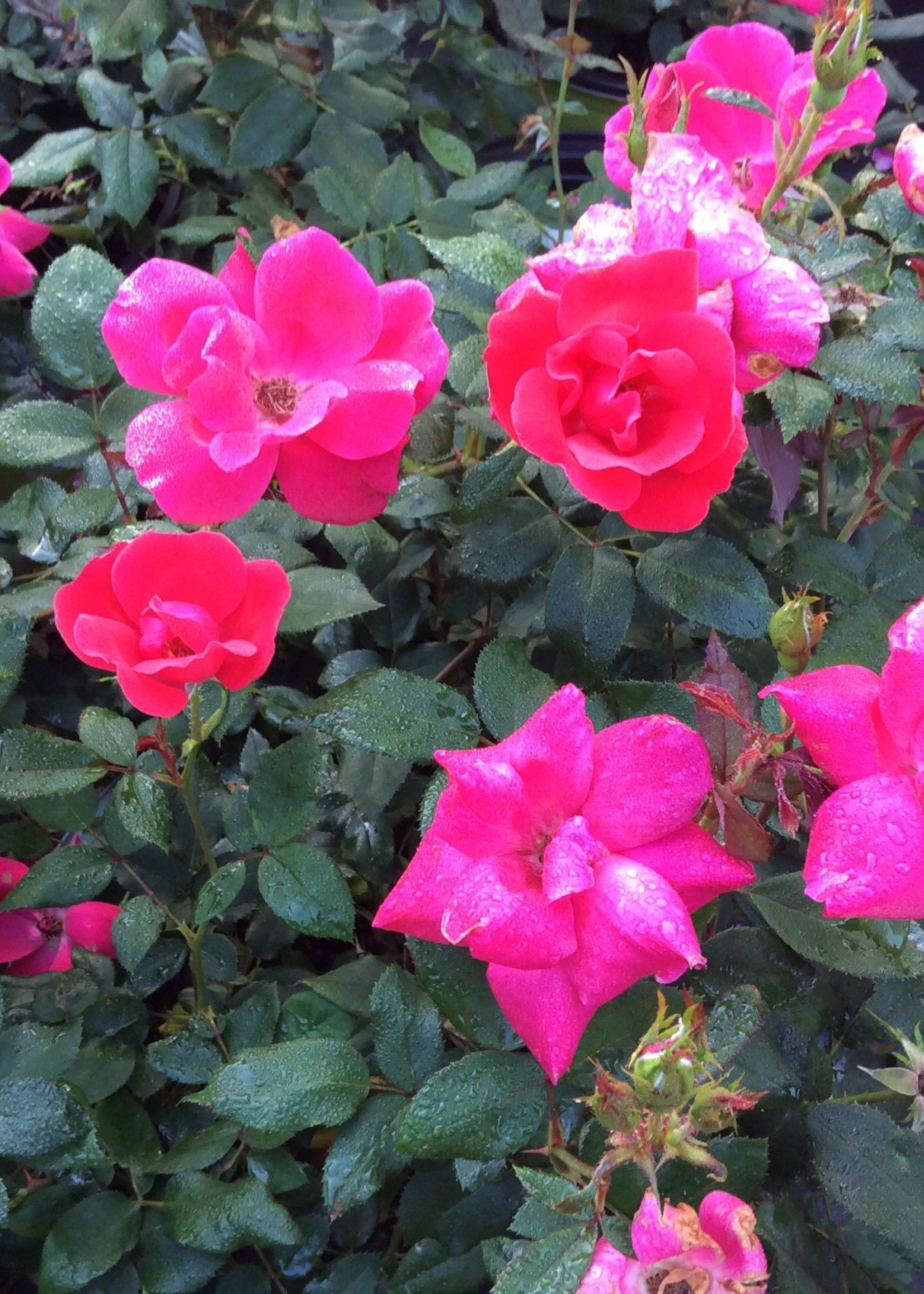 ROSE, 'KNOCK OUT' RED 3G